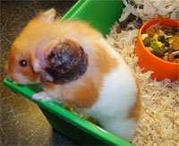 abscess in  hamster