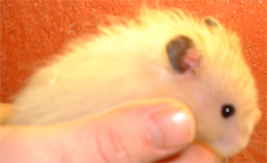 Taming baby hamsters