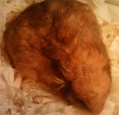a hamster with distended abdomen