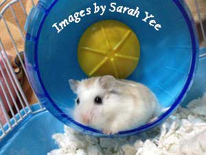 dwarf hamster on a wheel