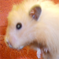 hamster with a cataract