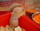 hamster with age related fur loss