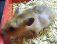 fur loss in a young hamster