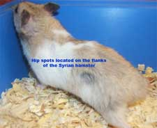 a hamsters scent glands