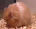 long haired male teddy bear hamster