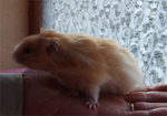 a long haired male hamster