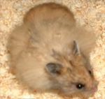 a long haired female hamster