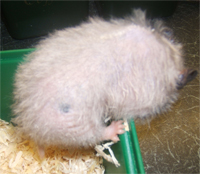 hair loss in a hamster