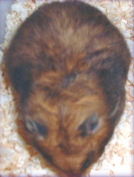 pregnant hamster during gestation period