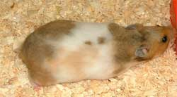 female hamster with trim tail line